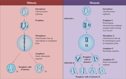 Mitosis and meiosis phases comparison essay